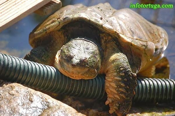 Chelydra serpentina - Tortuga mordedora