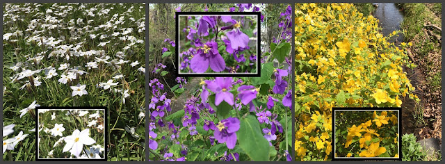 Three pictures of spring flowers, the white springstar, purple dame's rocket, and bright yellow Kerria