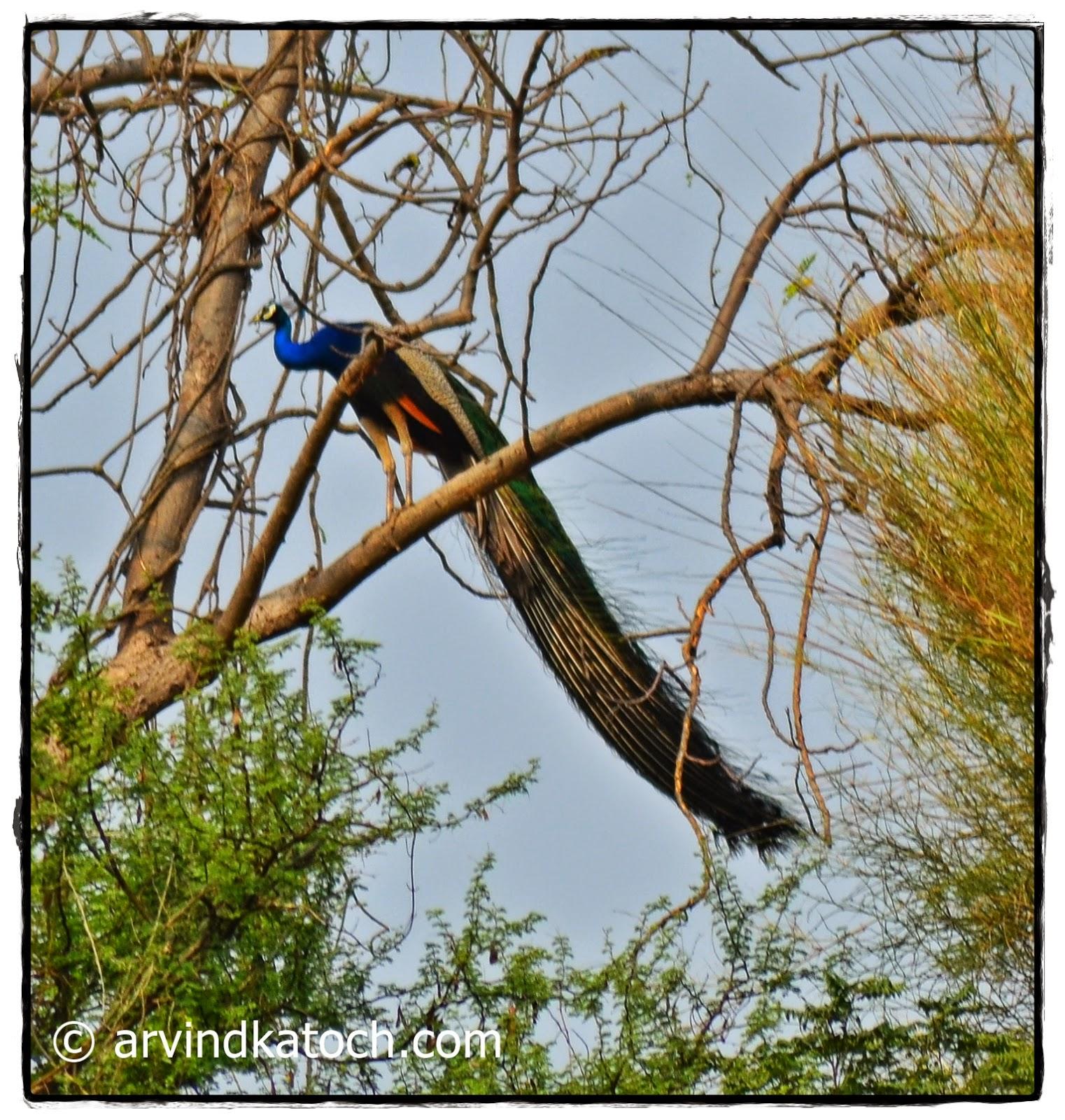 Peacock, Tree,