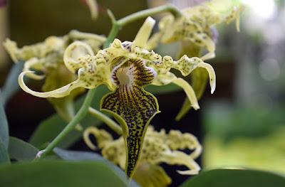 Orchid Daze 2017 | Atlanta Botanical Garden | Photo: Travis S. Taylor