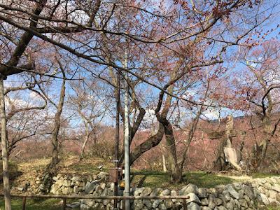 高遠城址公園 白兎橋の桜
