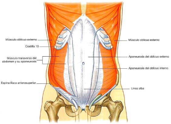 Musculos transversos del abdomen