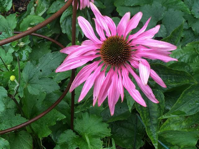 Herlig hvit og rosa purpursolhatt - mot rust
