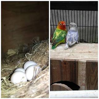 Cara mengatasi telur lovebird tidak bisa keluar (Egg Binding)