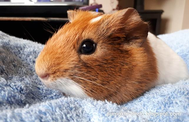 Cherry smooth short coated Guinea Pig baby