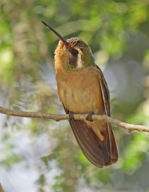 Xantus Birdernaturalist: Baja...