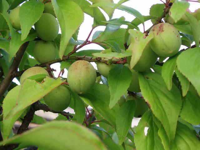Quả Mơ xanh - Cây Mơ - Prunus armeniaca - Nguyên liệu làm thuốc Chữa Ho Hen