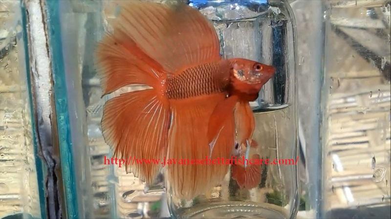 Image Double Tail Betta - Betta fish types