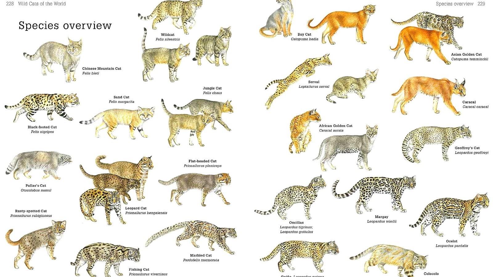 Felidae Wild Cat Breeds Cat Choices