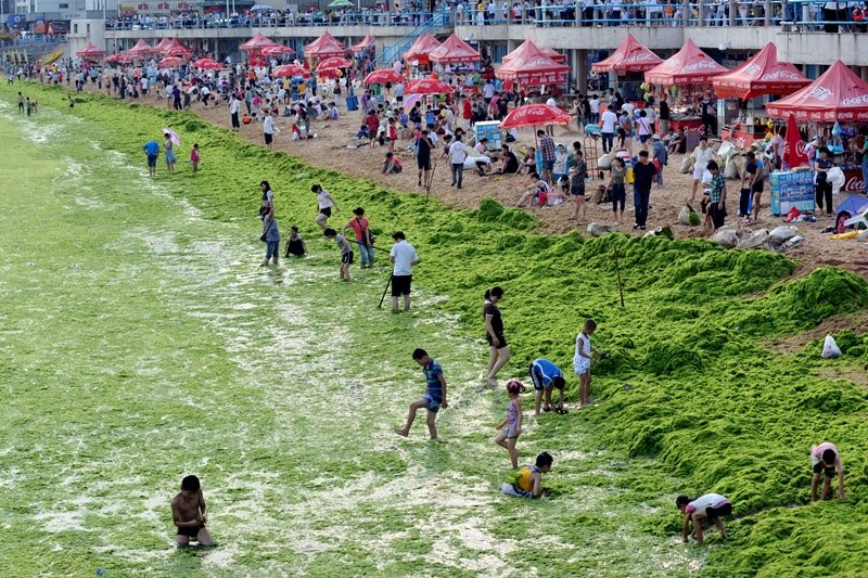 Sea of algae. This is Qingdao China, where algae is continuing to spread along China's coast. When the algae dies, it will create a dead zone in which plants and fish will not exist.