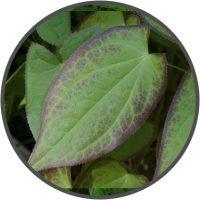 Epimedium 4:1 Leaf Extract Epimedium Sagittatum