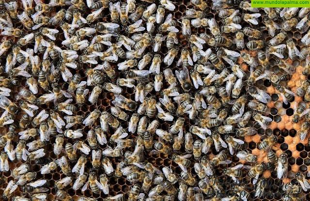 La Consejería abona más de 500.000 euros a los productores de miel de abeja negra canaria