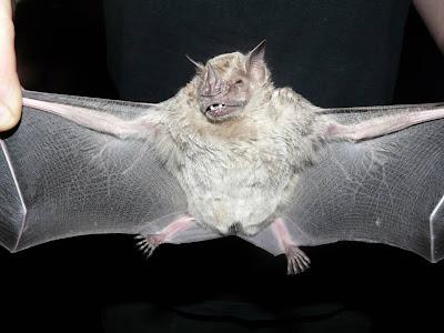 Murciélago frutero oscuro Artibeus fimbriatus