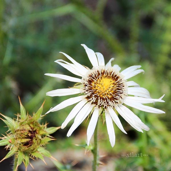 prickly beauty, stachelige Schönheit, Distel mit weißer Blüte