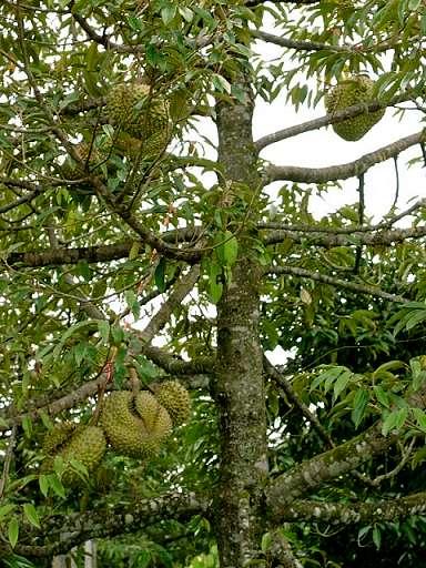 kagaytrip durian