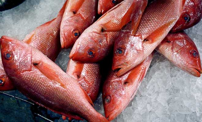 Red Snapper Fish Suppliers - Frozen Grouper Supplier, Grouper Fish