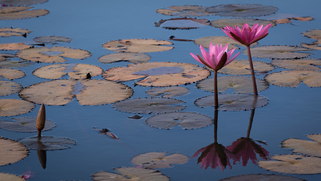شاهد سحر بحيرة اللوتس الأحمر في تايلند I-visited-the-red-lotus-sea-in-Thailand-57b316379c06b__880