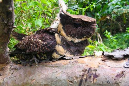 Indian birds - Great eared nightjar - Lyncornis macrotis