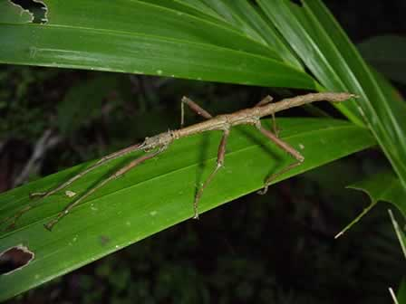 A study of the stick insect failed to make natural selection seem predictable