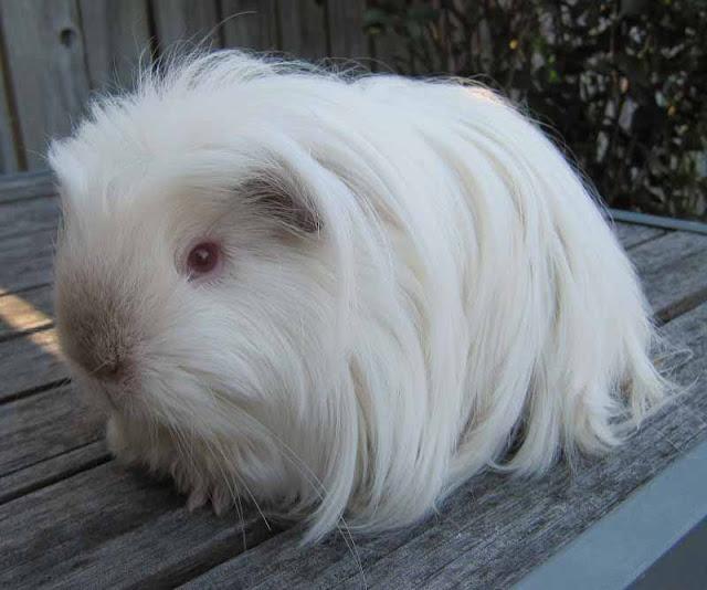 ban-bo-u-chuot-lang-guinea-pig-peru-tai-da-nang-2