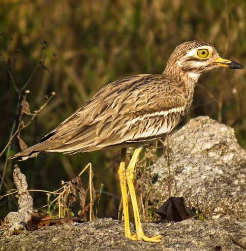 Picture of Indian thick-knee - Burhinus indicus