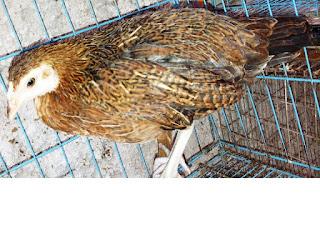Ayam hutan bekisar,Ayam-hutan srilangka,Ayam-hutan merah,Ayam-hutan kelabu