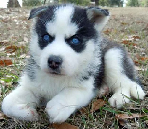 Cute Cool Pets 4u Siberian Husky Puppies Pictures