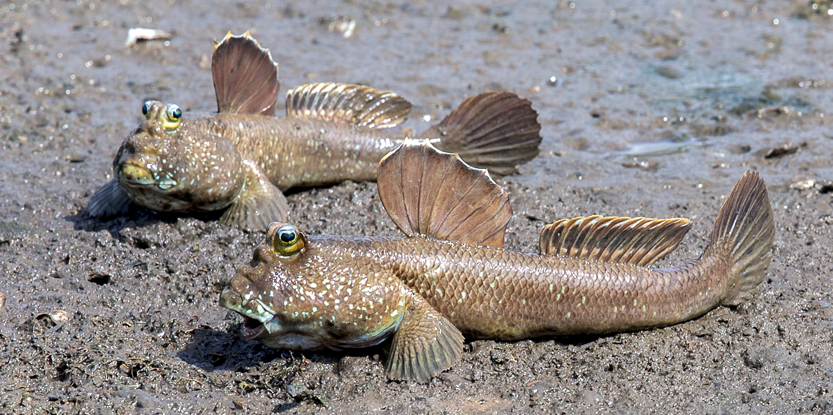 Robotic Recreation of Mudskippers Sheds New Light on Evolution