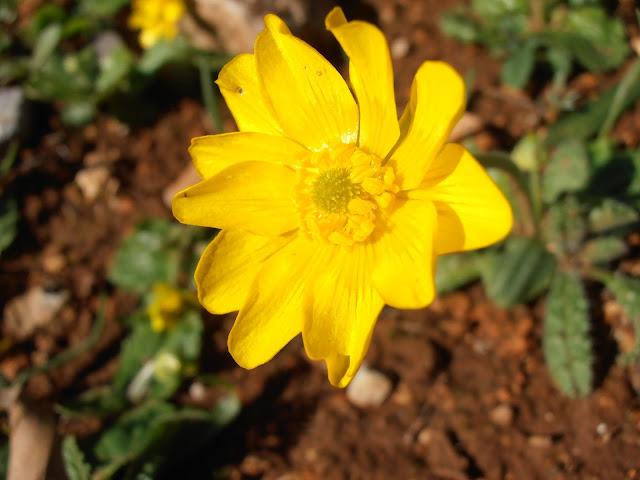 Flor de RANÚNCULO DE INVIERNO: Ranunculus ballatus