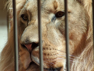 Canned lion hunting on lion farms and private hunting reserves in South Africa guarantee hunters easy trophy heads in exchange for upwards of $50,000 by hunting lions born and breed in cages.