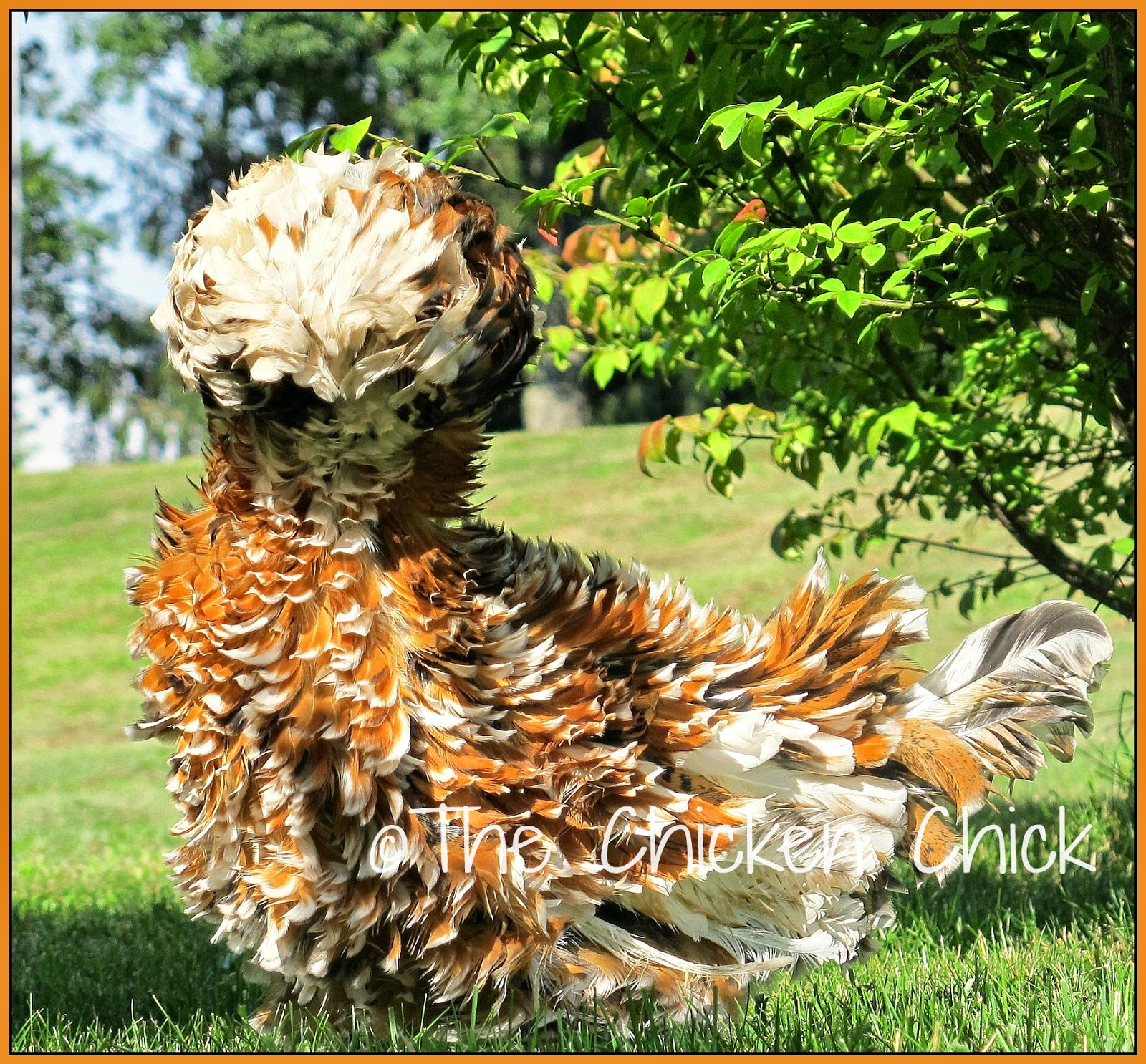 The Chicken Chick 174 Frizzle Feathered Chickens Divas Of