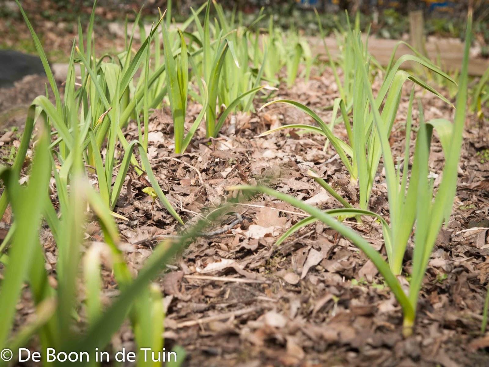 knoflook moestuin volkstuin maart voorjaar lente