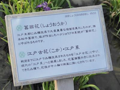 ◆菖翁花(しょうおうか) ◆江戸古花(こか)・江戸系