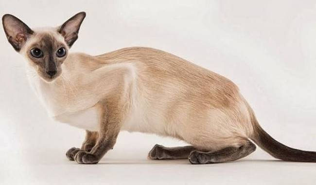 This breed can be described as hunters and jealous. Siamese cats are very freedom loving and love to walk on their own. They like the heat. Characteristic Siamese color appears only in the ninth month of life. Before that, they are just bright.