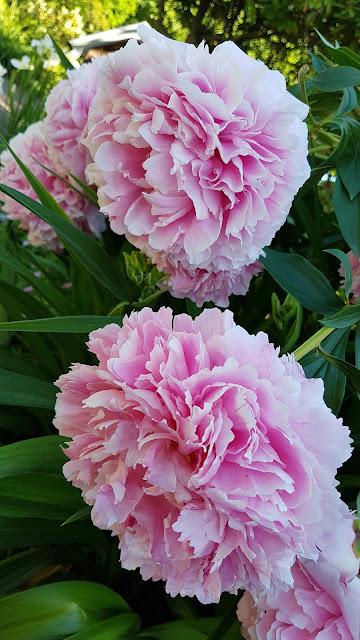 jula arbetsbyxor rosa
