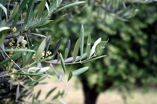 Ritual para Semana Santa con olivo