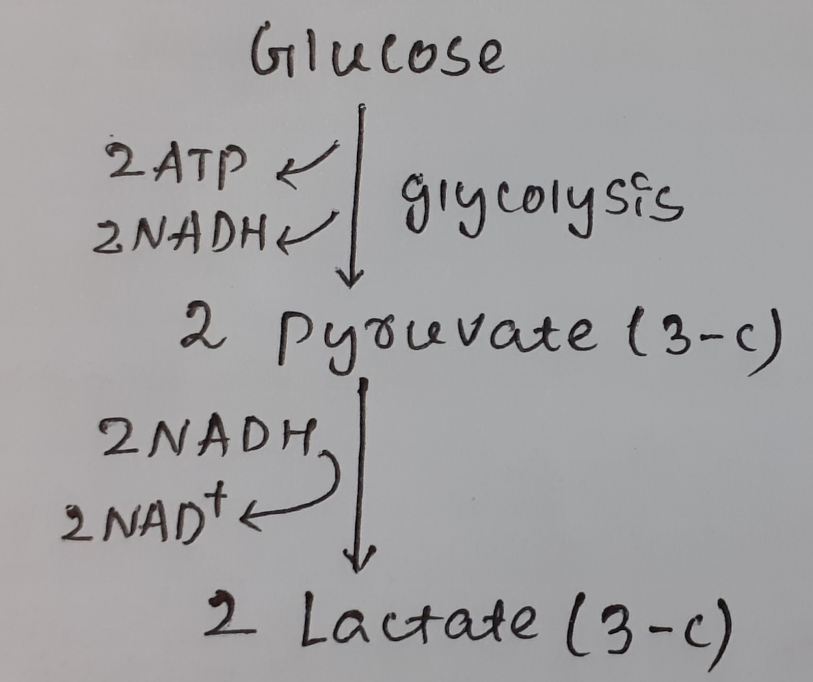 Human Body Metabolism Glycolysis Pathway