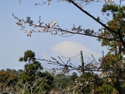 源氏山公園:富士と桜