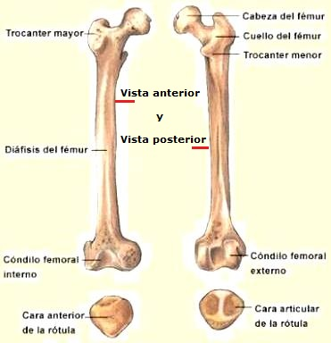 Dibujo del hueso femur señalando sus partes (Vista anterior y vista posterior)