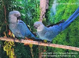 Spix´s macaw