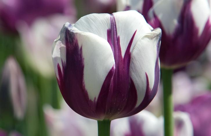 tulip flower plant a purple tulip hope patch