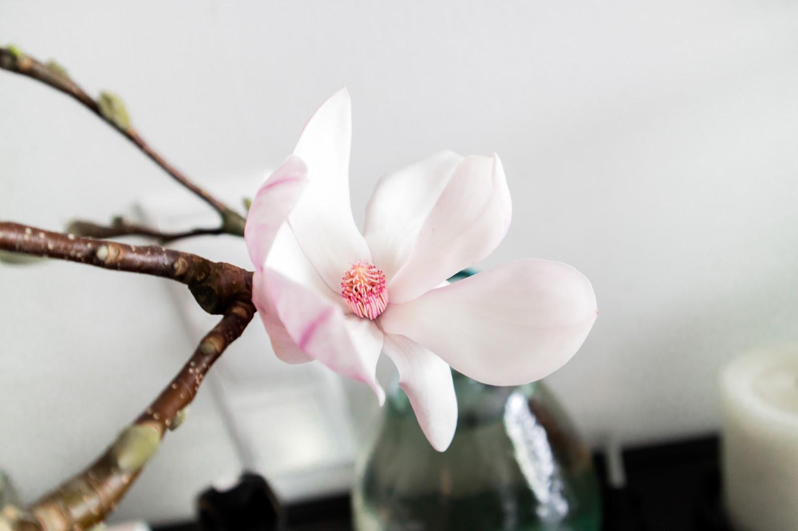 mangolia, mangolian kukka