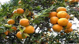 wild orange fruit images wallpaper