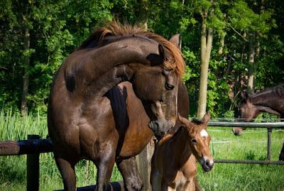 oude stam, Irco Polo, Volfonic xx, paarden fokken,