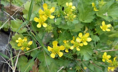 長風公園に咲いた小さな黄色い花