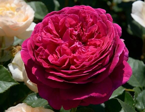 Falstaff сорт розы фото купить саженцы Минск