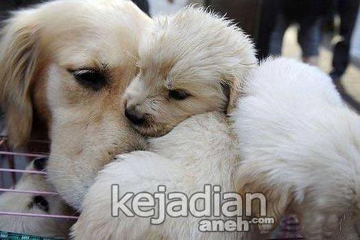 kisah sedih anjing golden 13 Kisah Kesetiaan Anjing yang Dijamin Bikin Nangis