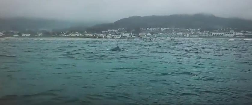 Golfinhos na praia de Moledo