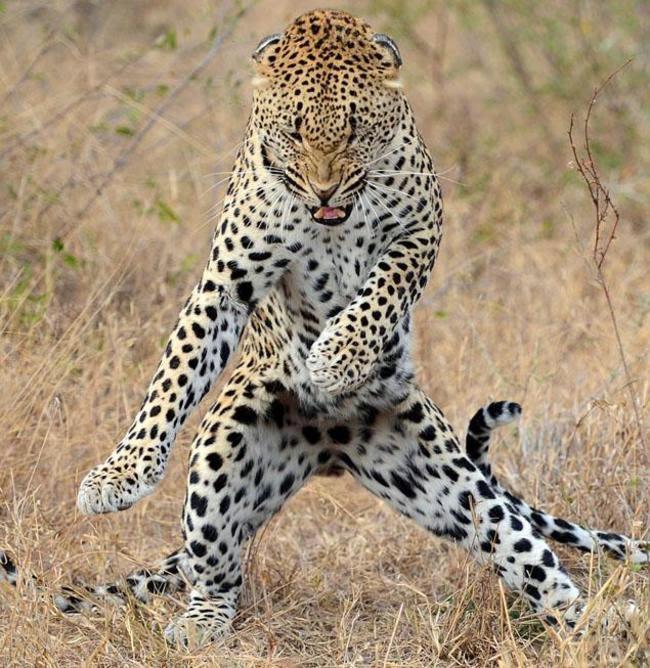 صورة نمر يرقص