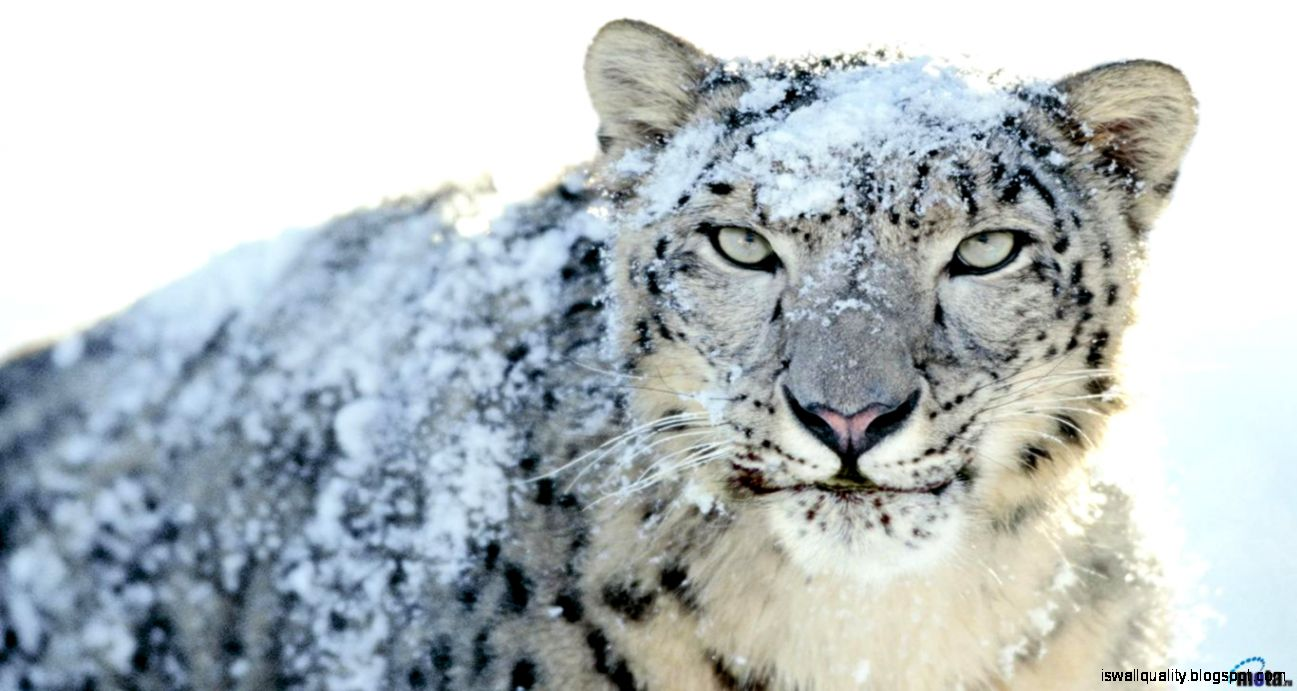 Snow Leopard Wallpaper Hd Wallpapers Quality